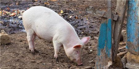 """7个偷猪贼,你们被猪肉""""出卖""""了"""