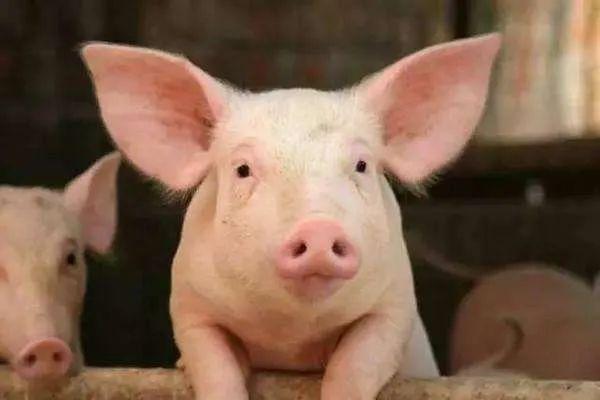 9月16日15公斤仔猪价格,仔猪降价,饲料涨价,市场上猪多了?
