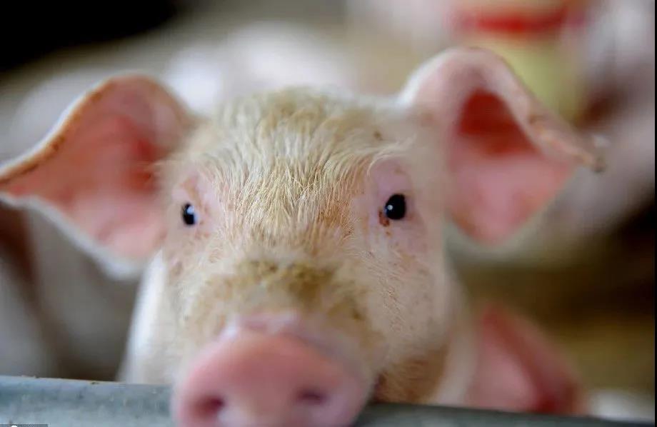 最新!中国已批准38国2020家肉企进口肉类,今年以来1.1万家新建规模猪场投产!