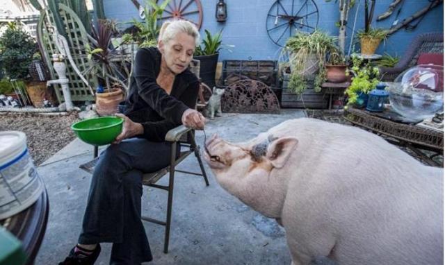 世界第一养猪国:养猪比养人还细致,中国指定进口该国猪肉