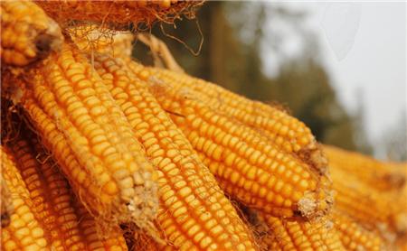 新季玉米情况跟踪报道:开秤价格高位有力支撑市场