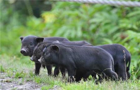9月17日全国土杂猪生猪价格行情涨跌表,接连涨回,新一轮涨价潮即将来袭!