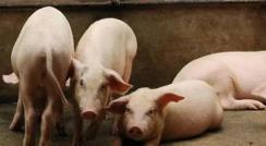 大动作!长春这里签订养猪项目,预计年出栏商品猪100万头!