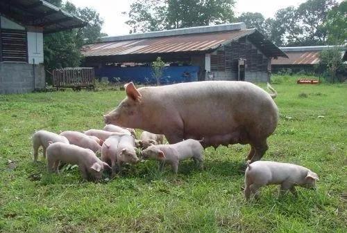 生猪繁育管理:生产上如何提高受精卵的着床率?
