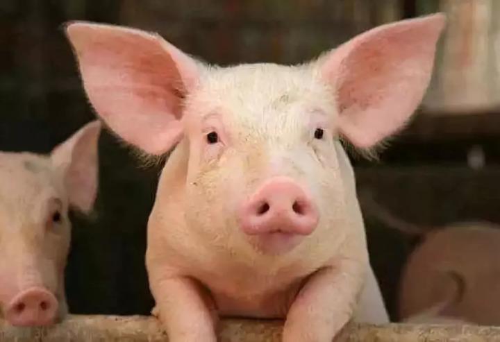 """""""猪""""事顺利!铜仁加快推进生猪全产业链发展"""
