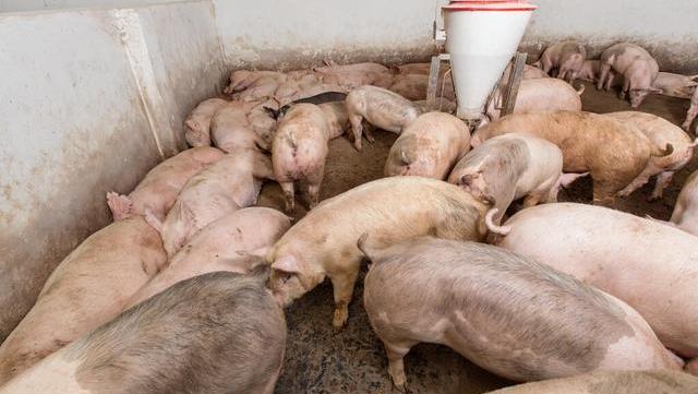 """猪价""""一地猪毛"""",养猪户疯狂抛售,中秋猪肉将跌至""""一字头""""?"""