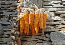 9月20日全国玉米价格行情,供需形势好转,玉米价格保持弱势调整!