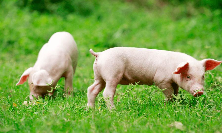 9月20日全国20公斤仔猪价格表,地区差异明显,高低价出现!