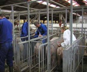 配种管理:不同环境下母猪的授精