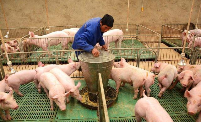 """明年下半年猪肉价格会跌成""""白菜价""""?生猪存栏决定猪价走势!"""