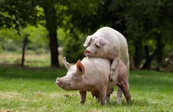 关于母猪配种,这五个问题你注意了吗?