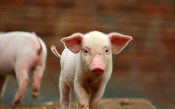 王中:集团养猪发展战略的八字诀