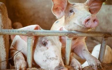 """9月21日15公斤仔猪价格,涨势不再,但已经发生""""质的改变""""了?"""