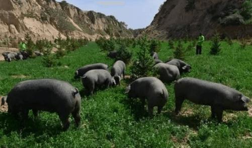 湖北省沙洋县 出实招 强服务 生猪增长快速恢复