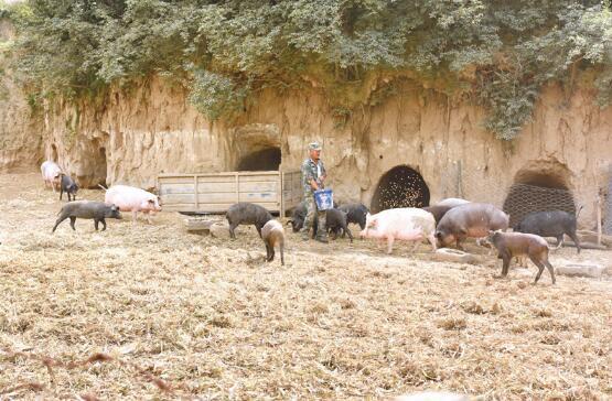 """山西阳泉:山猪""""拱""""出好日子,家里的光景越过越好!"""