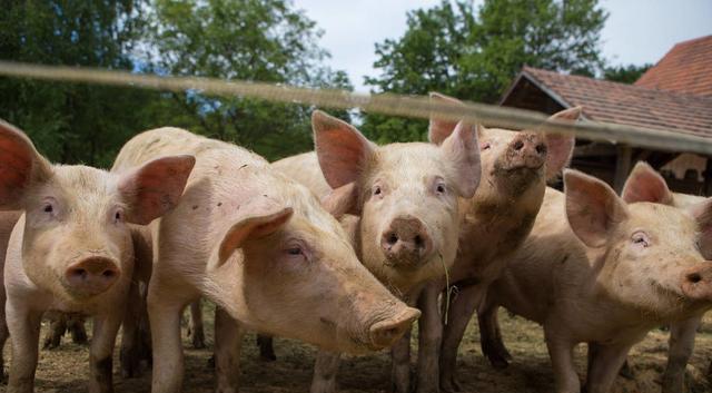 千年一遇的猪价?养一头猪赚近2000块
