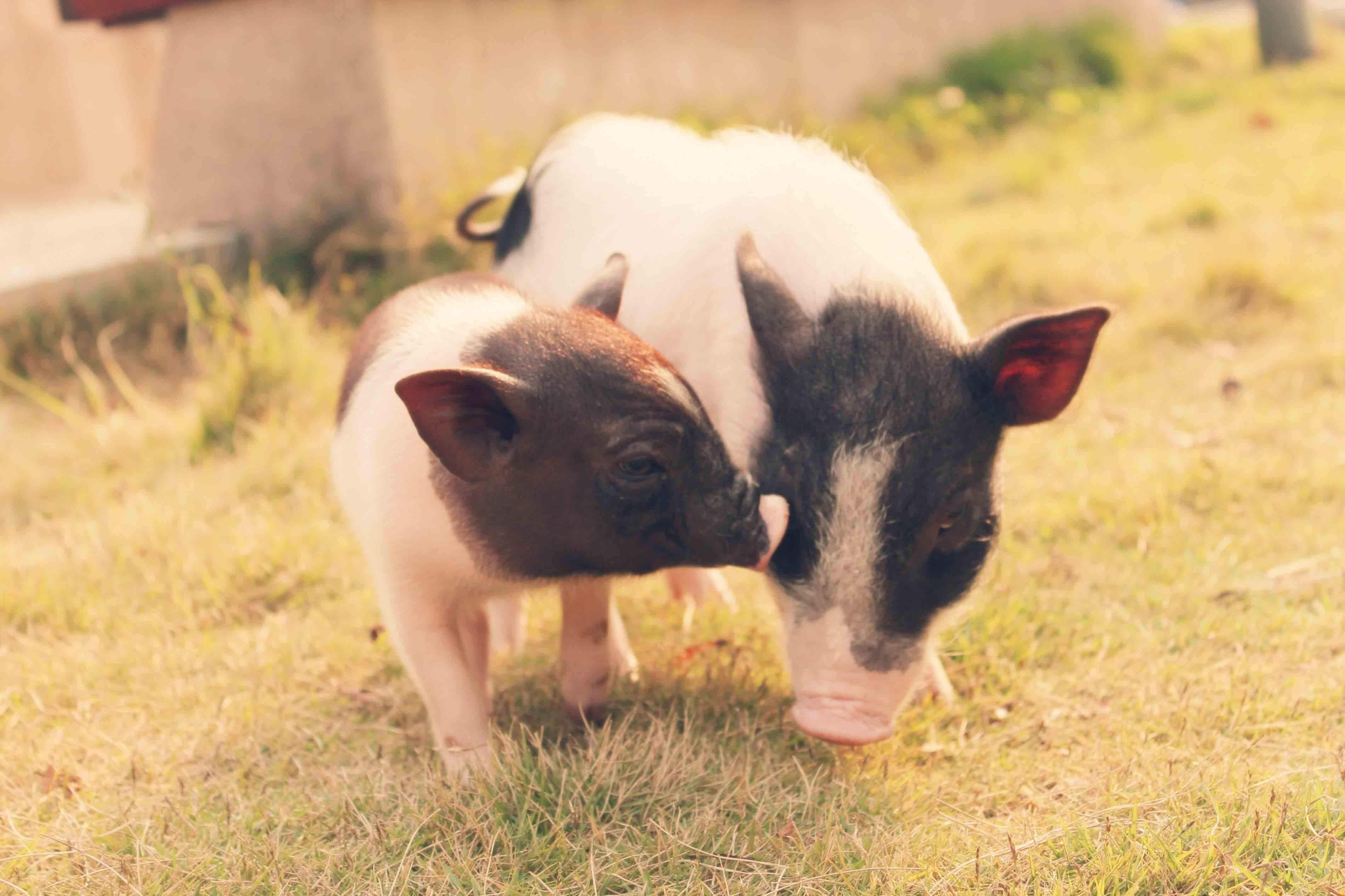 9月22日全国20公斤仔猪价格表,上海长宁20公斤外三元仔猪价格为1200元/头!