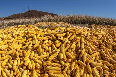 9月23日饲料原料:玉米豆粕价格一路上飙,养殖利润再受挤压
