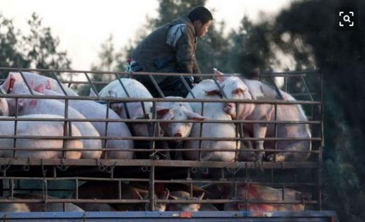 生猪持续下跌,猪肉却居高不下,谁在与老百姓争利?