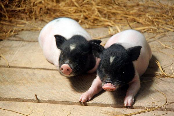 9月23日全国10公斤仔猪价格表,广东省外三元仔猪价格仍有2000元/头的价格!