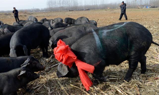 9月23日全国20公斤仔猪价格表,价格回调,多省市仔猪单价降到100元/公斤以内!