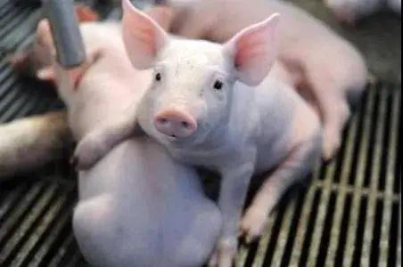 现在的人是怎么了,不断有人偷猪?
