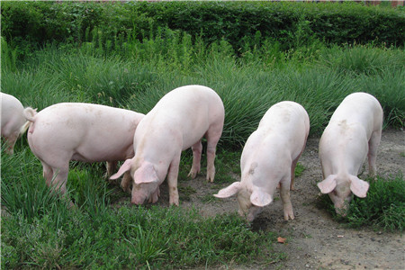 三换总裁抛回购案 新希望养猪大跃进