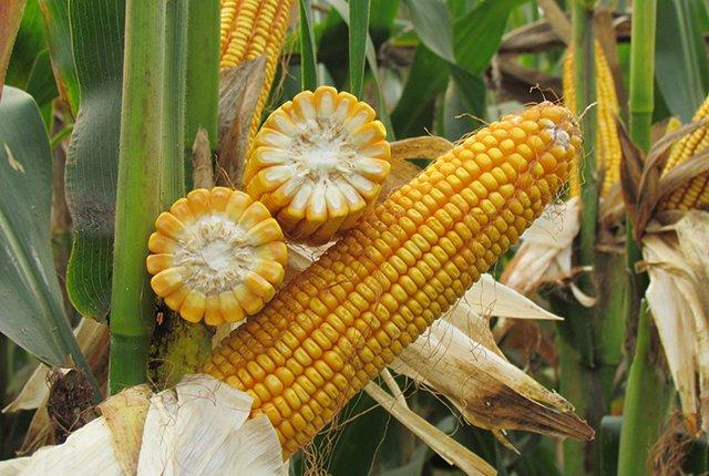 9月24日全国玉米价格行情,玉米看涨行情不变,短期保持弱势震荡的态势!