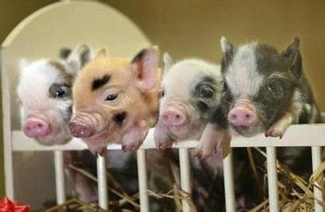 9月24日全国15公斤仔猪价格表,仔猪价格继续跌,河南的仔猪价格为1050元/头!