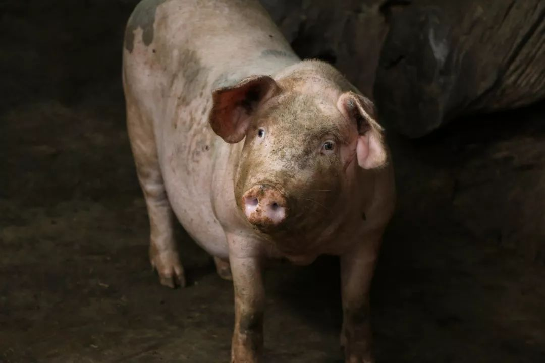 猪肉价格再迎全面下跌,国庆节会怎么走?