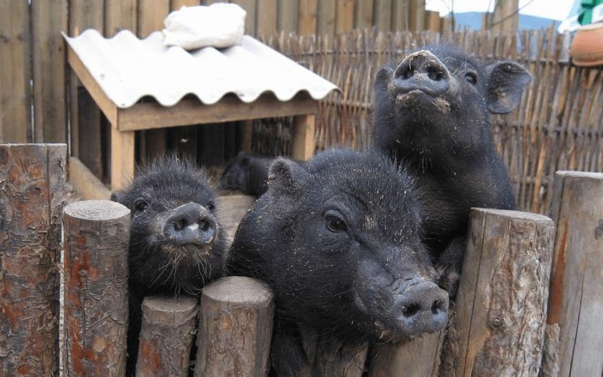 9月25日全国15公斤仔猪价格表,湖北随县15公斤外三元仔猪价格为1200元/头!