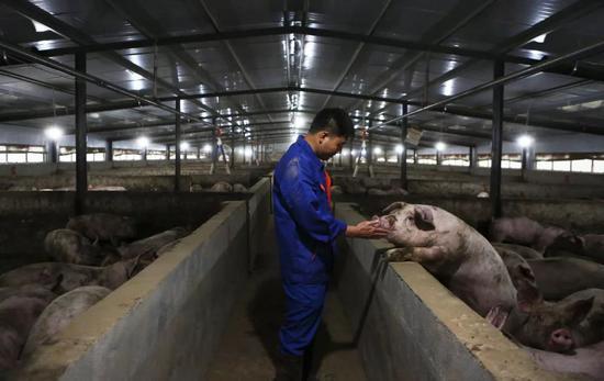 """猪价高企散户养猪为何仍在观望?""""疫苗出来之前不敢扩大规模"""""""