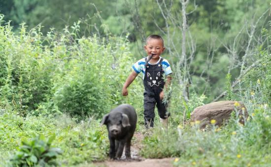 四川省昭觉县三河村养猪创业者郑吃合3岁的儿子在山里追赶一只乌金猪 李梦馨 摄