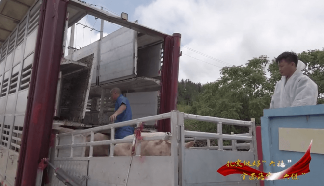 """贵州西秀区:""""生猪代养""""模式为大小养殖户带来双赢"""