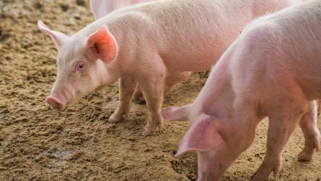 猪价上涨预期落空 生猪供应紧张的情况缓和了?