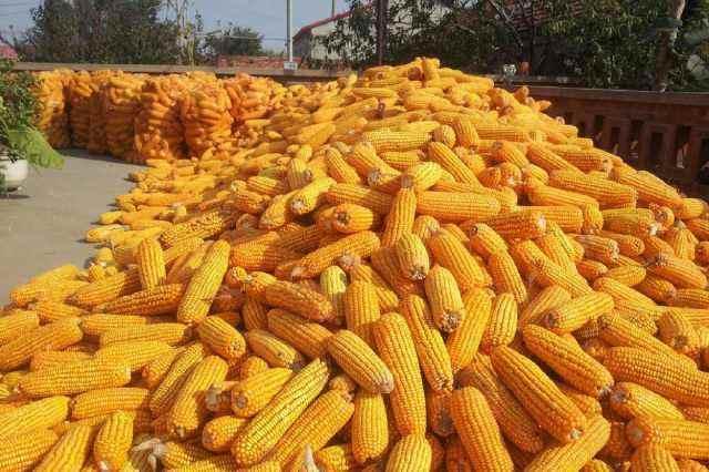 9月27日全国玉米价格行情,继续走跌,但是抢粮风潮蔓延?