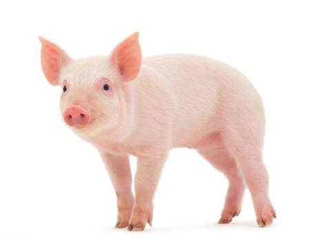 黑龙江:勃利畜牧扶贫产业园法系种猪进场