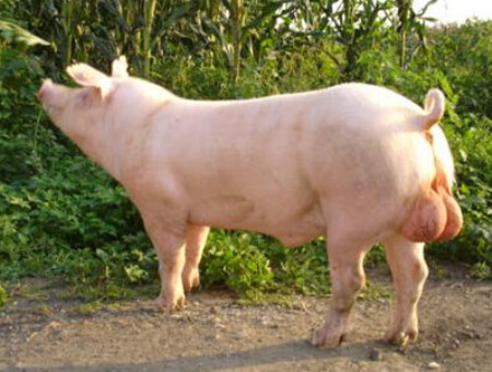 9月27日全国各地区种猪价格报价表,局部种猪价格略有下跌!