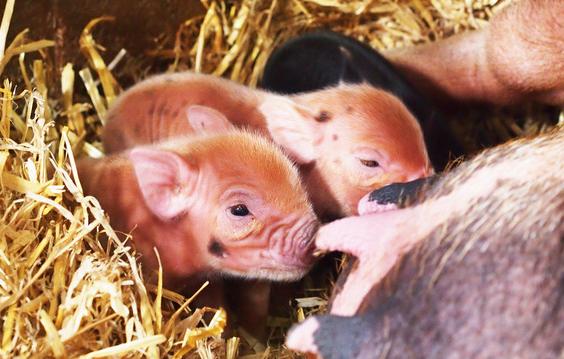 9月28日15公斤仔猪价格,优质仔猪价高,仔猪存活率要如何保障?