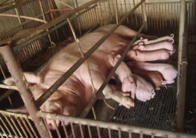 仔猪养殖有8个要点,想要养好小猪,就这么做吧!