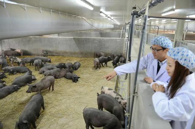 """""""今年赚300万元,问题不大。""""一位黑猪养殖户这样说"""
