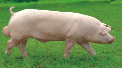 9月29日全国各地区种猪价格报价表,种猪数量短缺,价格仍就高企!