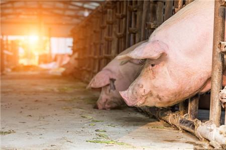 双节将至,淄博博山区生猪价格下跌显著