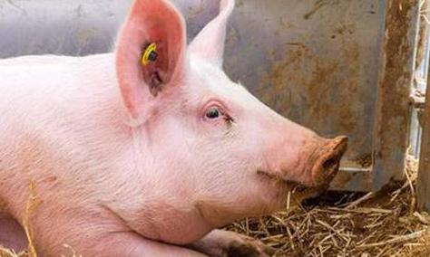 上半年存栏已经恢复到常年的98.9%!陕西省生猪规模化养殖后劲十足