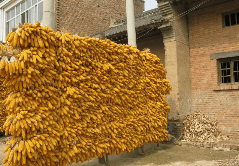9月29日饲料原料:豆粕依旧追涨,玉米真的开始走跌了吗?
