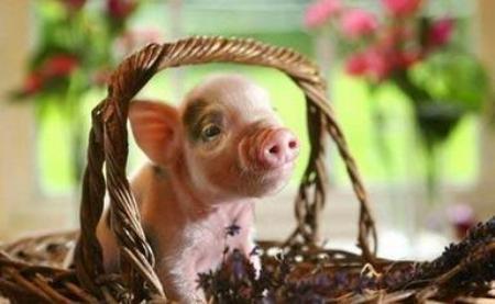 9月30日10公斤仔猪价格,9月收官之际,双节仔猪该跌还得跌!