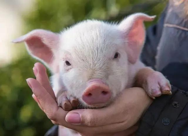 9000年养猪史的大国与洋种猪的作战中溃不成军