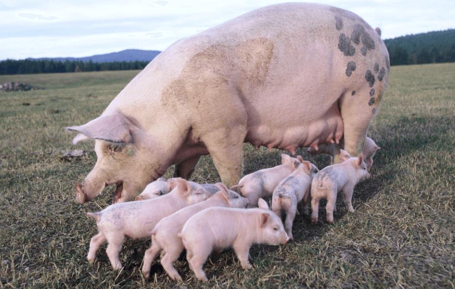 10月1日全国各地区种猪价格报价表,节后种猪价格回弹!