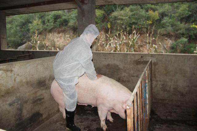 母猪发情不排卵怎么办?母猪不排卵的最好方法,本文为你介绍
