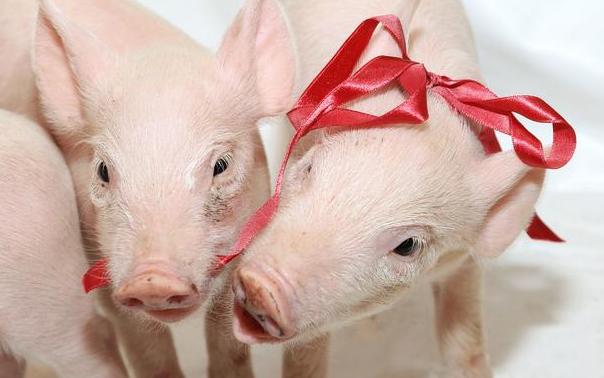 """""""安心复养""""模式为生猪产业输血赋能 全市生猪活体抵押贷款取得新突破"""